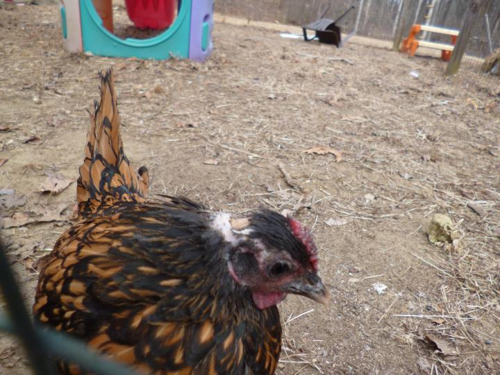 Ophelia the therapy chicken